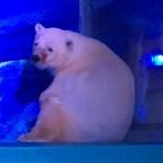 Ez itt Pizza, a világ legszomorúbb jegesmedvéje